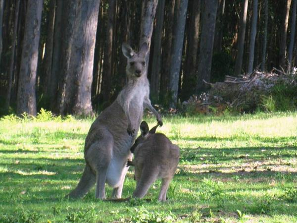 Photo: Australie, kangourous